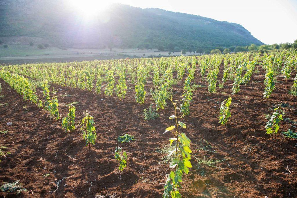 paesaggio rurale con vigna sui colli di Cori coltivati con viti di Nero Buono e Bellone